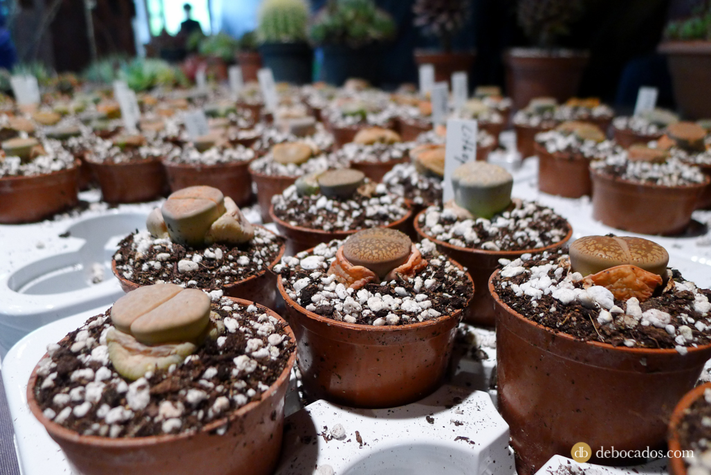 """Aquí los famosos """"cerebritos"""" que los llaman. Cactus piedra de la familia de las suculentas, originarios del continente africano."""