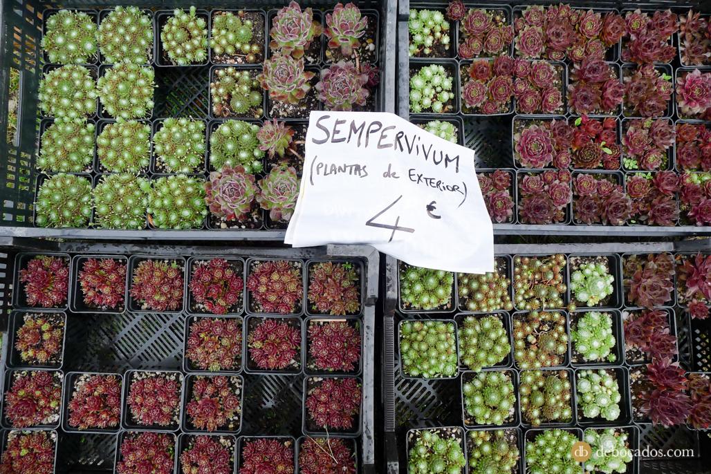 Sempervivum en la Feria de Plantas de Colección en Iturraran