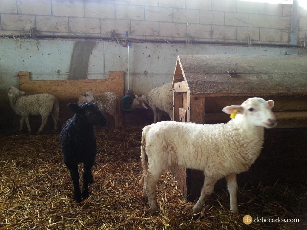 Ovejas y corderos del caserío Gomiztegi, Escuela de Pastores