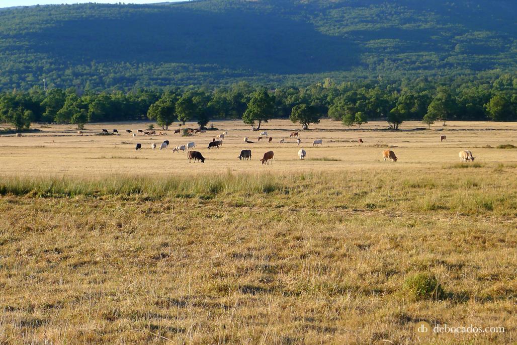Vacas en Valdeavellano de Tera, Soria