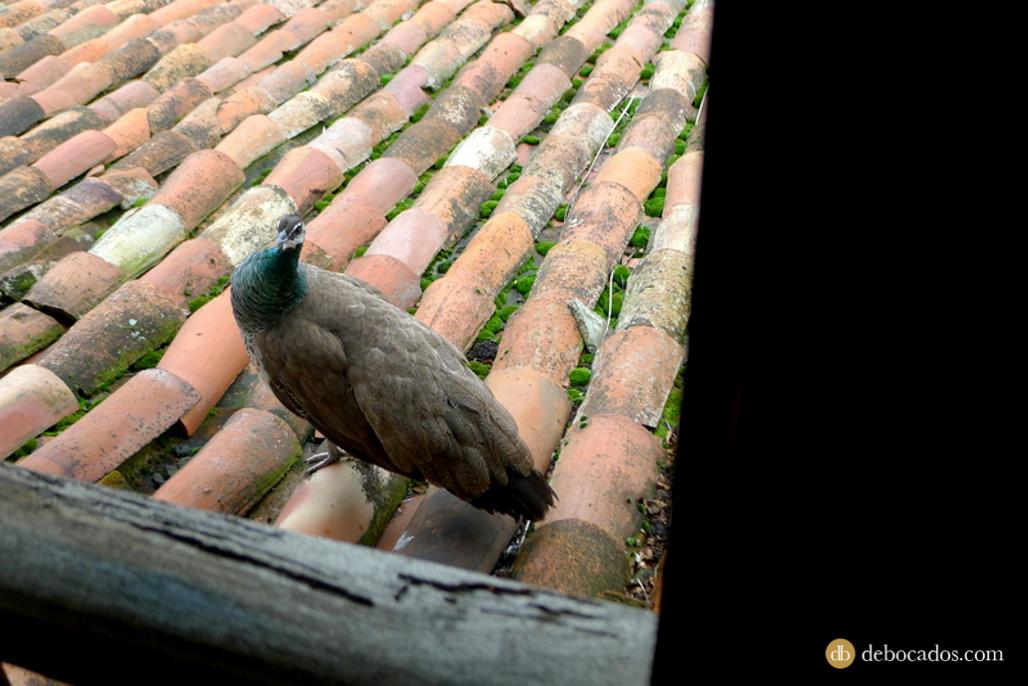 Pavos reales paseando por los tejados del restaurante Aspaldiko en Loiu, comarca de Uribe